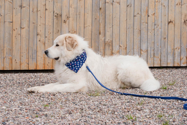 Pyrenäenberghund mit Halstuch