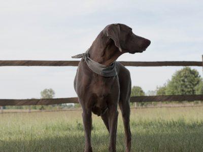 Hundehalstuch Weimaraner